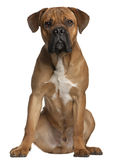 Cane Corso, 9 months old, sitting royalty free stock image