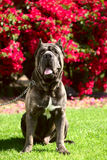 Cane corso Royalty Free Stock Photography