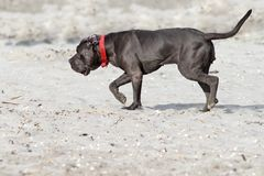 Cane corso on the beack. Relaxed young cane corso walking on the beach Stock Photo