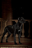Cane corso black dog Stock Photos