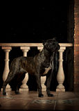 Cane corso black dog Royalty Free Stock Images