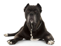Cane Corso black dog Stock Photography