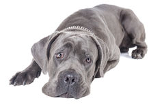 Cane Corso breed dog Stock Images