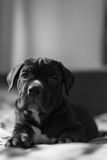 Cane Corso breed puppy looking at the camera Royalty Free Stock Photo