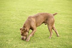 Cane Corso stock photography