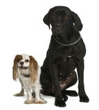 Cane corso and Cavalier king Charles dogs sitting Royalty Free Stock Photo