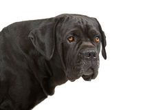 Cane Corso dog Royalty Free Stock Image