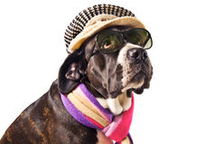 Cane corso dog. Cute cane corso dog dressed for winter Stock Photography