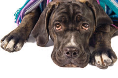 Cane corso dog. Sad looking cane corso dog wearing a shawl Royalty Free Stock Photos
