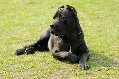 Cane corso dog Royalty Free Stock Photo