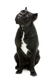 Cane corso dog Stock Images