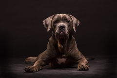 Cane corso dog Royalty Free Stock Photos