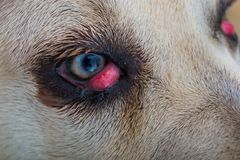 Cane corso dog breed with cherry eye. Close-up stock image