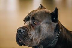 Cane Corso Dog Close Up Portrait Foto de archivo libre de regalías