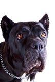 Cane Corso Dog Closer Look fotografia stock libera da diritti