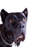 Cane Corso Dog Closer Look. Cane Corso Dog Portrait Watching Above Close, Isolated royalty free stock photo