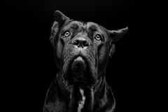 Cane corso dog. Closeup portrait of beautiful black Cane Corso female dog. Pure breed. Studio shot over black background. Copy space stock photography