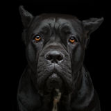 Cane corso dog Stock Photos