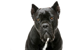 Cane corso dog Royalty Free Stock Images