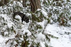 Cane corso dog goes through winter forest royalty free stock photos