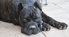 Cane corso dog Royalty Free Stock Photography