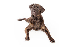 Cane Corso Dog Laying Down Royalty Free Stock Image