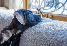 Cane corso dog looking outside the window Stock Photo