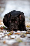 Cane corso dog lying on the snow portrait Stock Photos