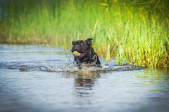 Cane Corso dog in nature Royalty Free Stock Photo