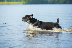 Cane Corso dog in nature Royalty Free Stock Photos