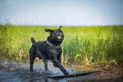 Cane Corso dog in nature Stock Image