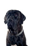 Cane-corso dog portrait Stock Images