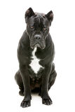 Cane corso dog Stock Image