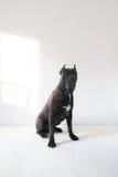 Cane Corso Dog Portrait på en vit bakgrund Royaltyfria Foton
