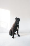 Cane Corso Dog Portrait su un fondo bianco Fotografie Stock Libere da Diritti