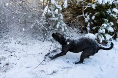 Cane corso dog pulling tree branch royalty free stock image