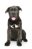 Cane corso dog puppy Stock Photo