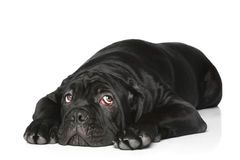 Cane corso dog puppy Royalty Free Stock Photography