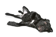 Cane corso dog puppy lying on a white Royalty Free Stock Photos