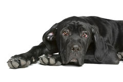 Cane corso dog puppy lying on a white Stock Photography