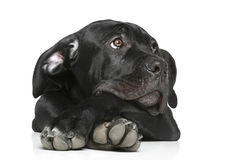 Cane corso dog puppy lying on a white Royalty Free Stock Photography