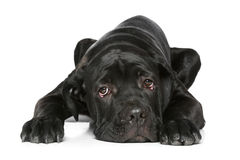 Cane corso dog puppy lying on a white Stock Image