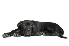 Cane corso dog puppy lying on a white Stock Photos