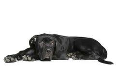 Cane corso dog puppy lying on a white Stock Photos