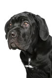 Cane corso dog puppy portrait Stock Photos