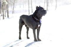 Cane Corso dog& x27; s gelaatsuitdrukking Stock Afbeelding