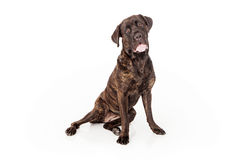 Cane Corso Dog Sitting to Side Stock Images