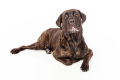 Cane Corso Dog Slobbering. Cane Corso dog with slobber laying against a white backdrop Royalty Free Stock Photo