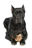 Cane Corso dog with small rabbit on a white Royalty Free Stock Image