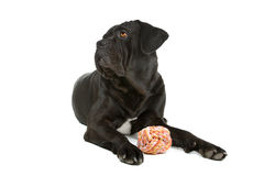 Cane Corso dog with toy Royalty Free Stock Photography